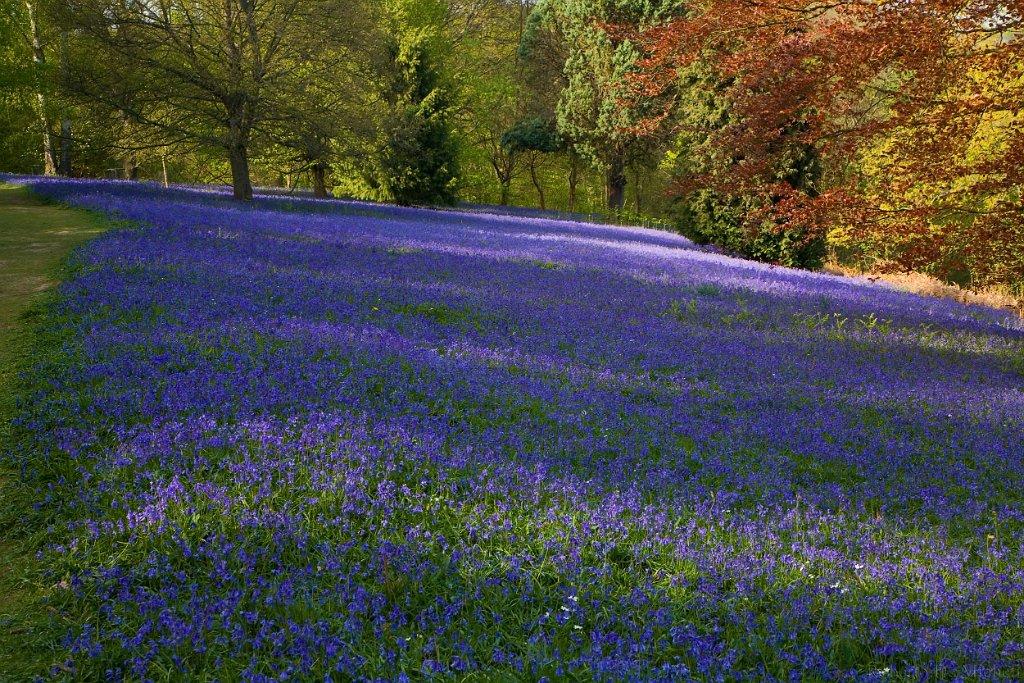 UK18 - Bluebells bloom - Surrey slides/IMG_8833.jpg