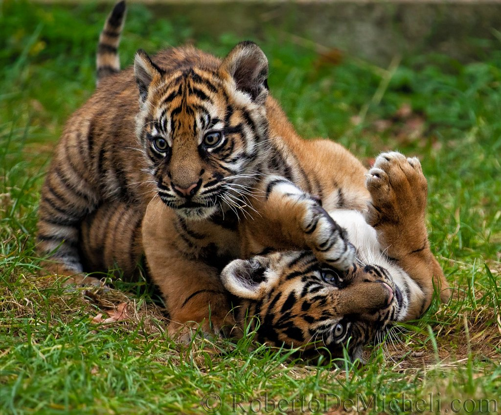 Tiger Cubs Playing With Cat